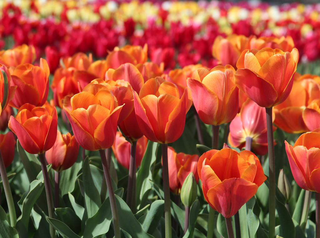 Sunshine Tulips 2015