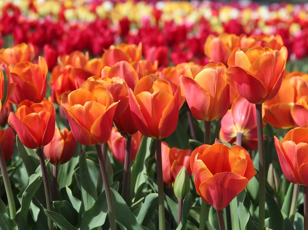 Sunshine Tulips 2015