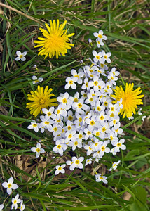 Dandelions and asters