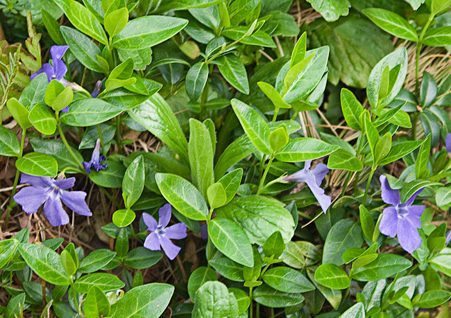 Spring flowers. Are these periwinkles? Or perhaps forget-me-nots?