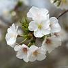 Japanese Flowering Cherry 1