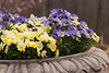 Yellow and blue pansies 1