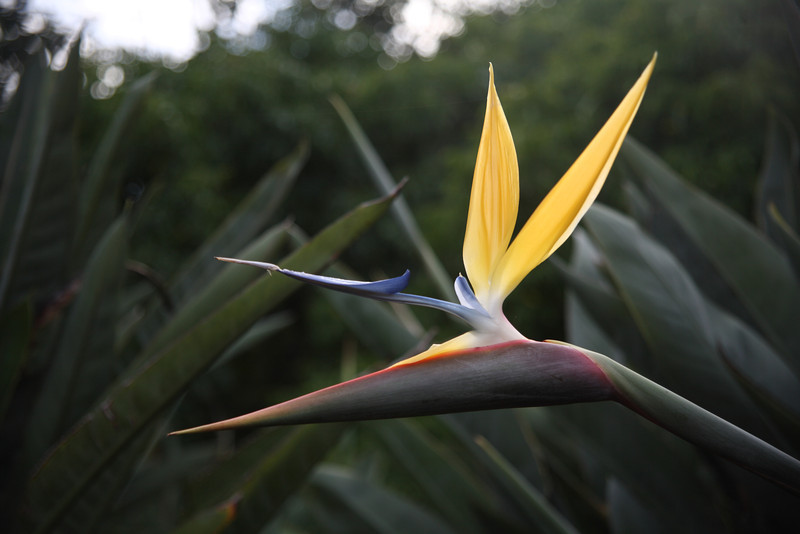 Strelitzia reginae, also called a crane flower or a bird-of-paradise flower, in the Kirstenbosch National Botanical Gardens, Cape Town, South Africa