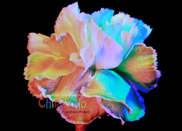 Carnation under the RGB Lights