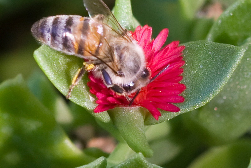 Bee in tiny red flower 1