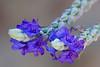 tiniest purple flowers