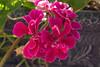 flowers from Joyce 1