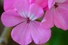 Hawaiian flowers 2