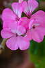 Hawaiian flowers 1