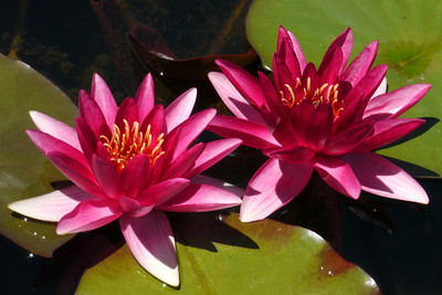 20131228_1124_5402 water lilies