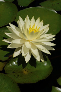 20131228_1128_5410 water lily
