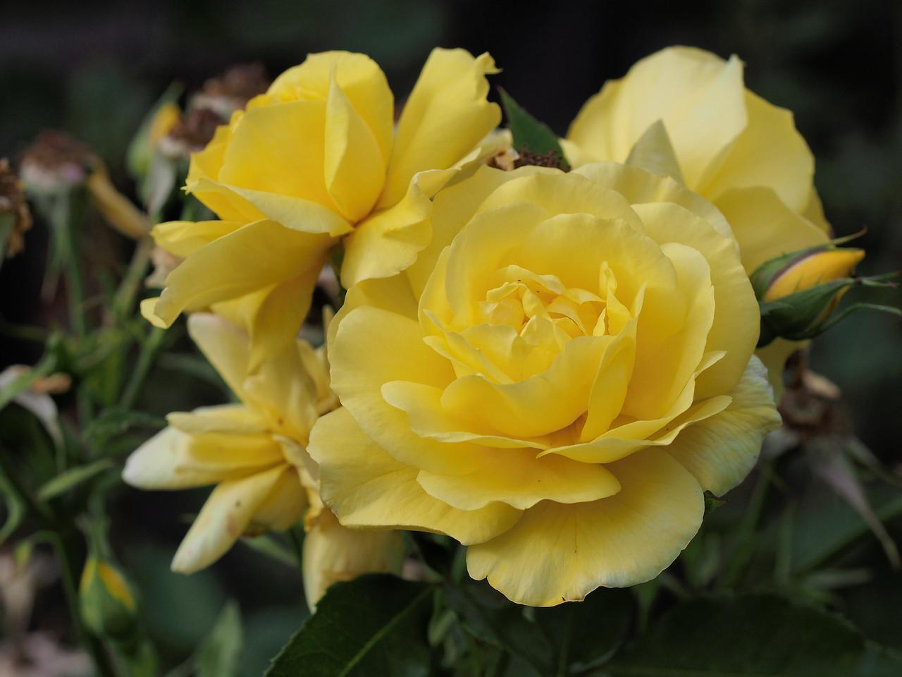 20131215_0707_5711 roses (Ivanhoe Park)