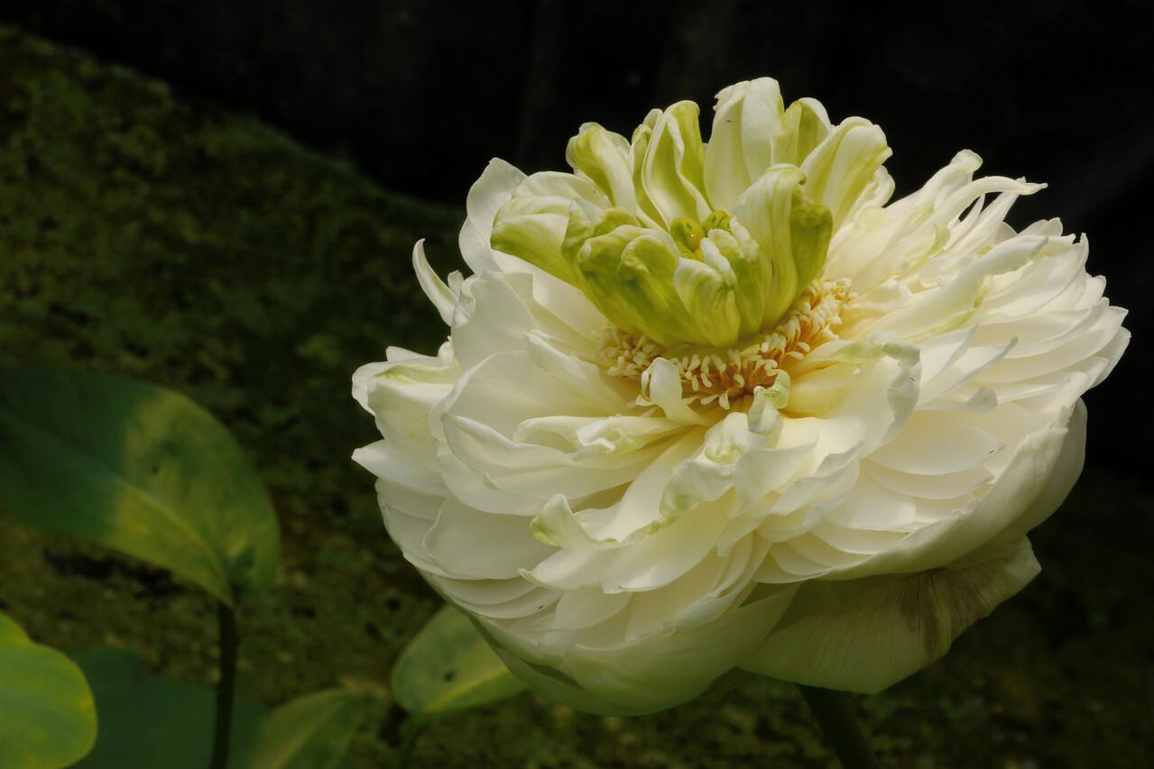 20131228_1224_5437 lotus