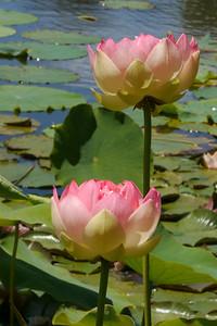 20131228_1318_5490 lotus