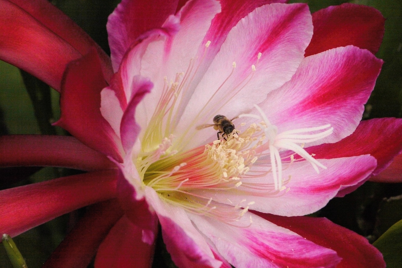 20131215_0821_5131 bee and epiphyllum