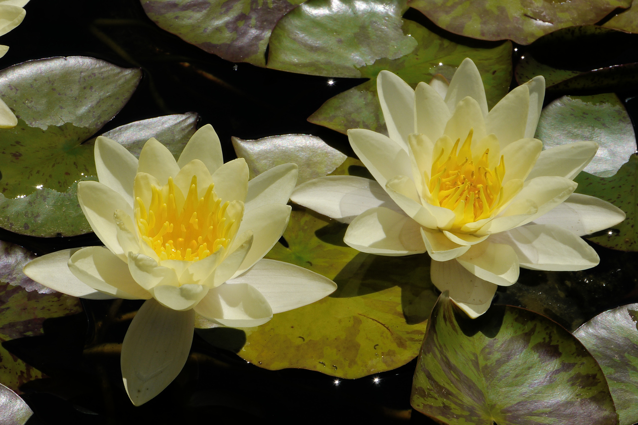 20131228_1117_5389 water lilies
