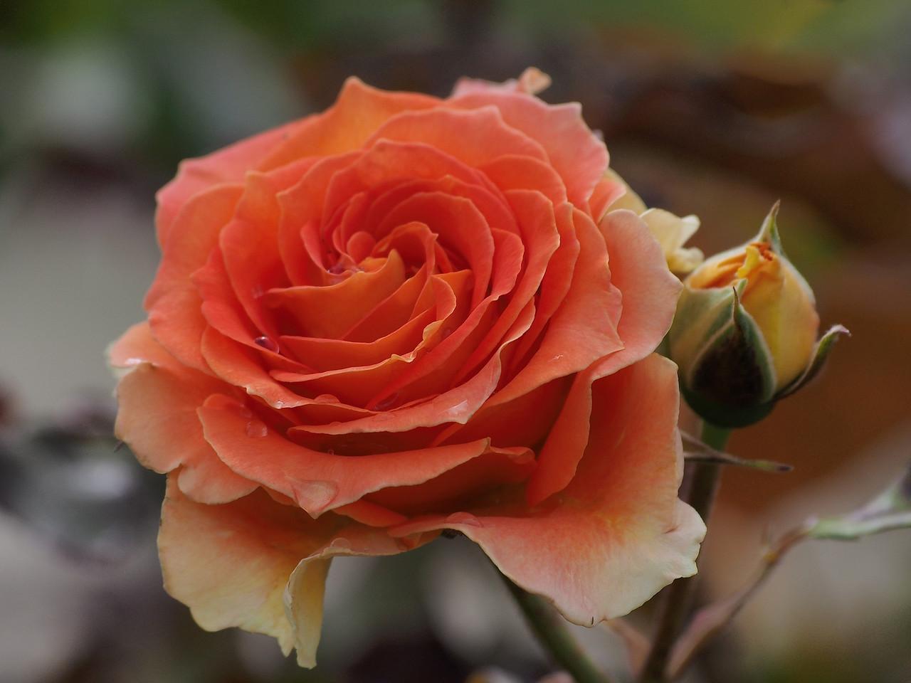 20131227_1009_1038 rose