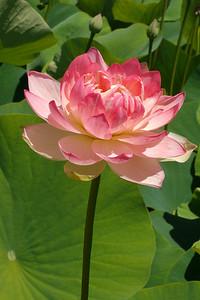 20131228_1307_5477 lotus