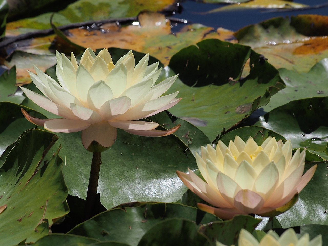 20141228_1157_0008 water lilies (Blue Lotus Water Garden)