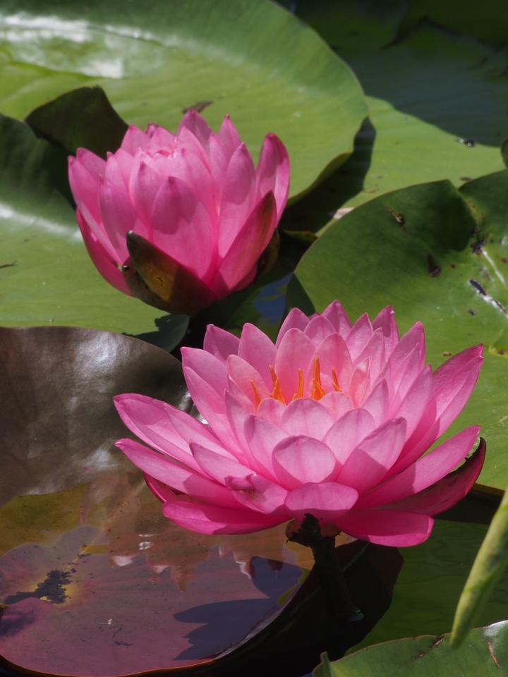 20131228_1221_0047 water lilies (Blue Lotus Water Garden)