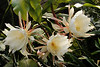 20140224_0734_5950 epiphyllum 昙花