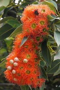 20131216_0746_5152 flowering gum