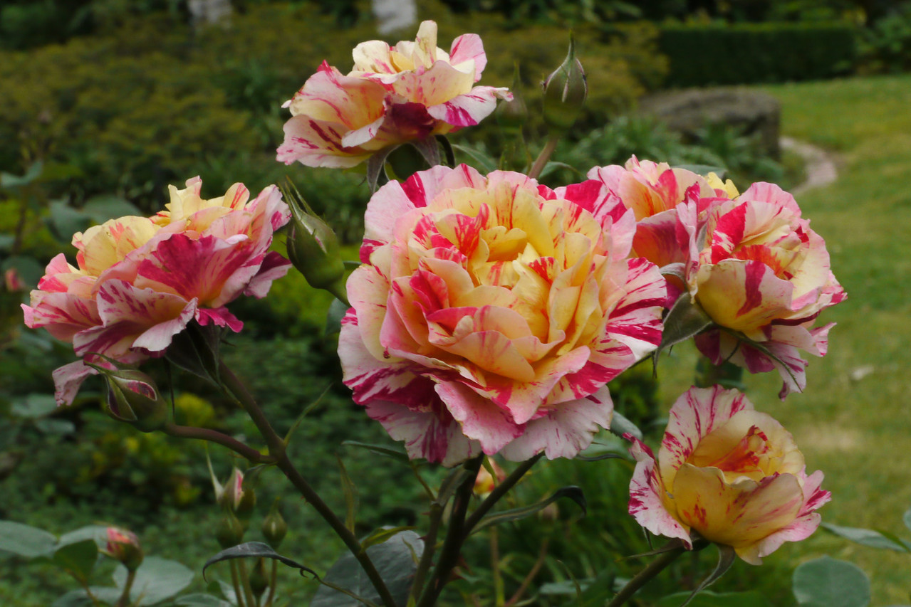 20131216_0810_5182 roses