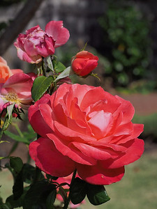 20140109_0911_2045 rose (Kenilworth Parade, Ivanhoe)