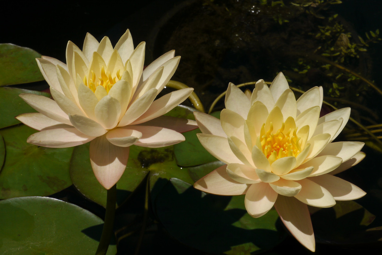 20131228_1131_5418 water lily