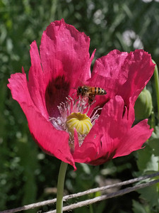 20131230_0936_1349 poppy and bee (Sovereign Hill, Ballarat)