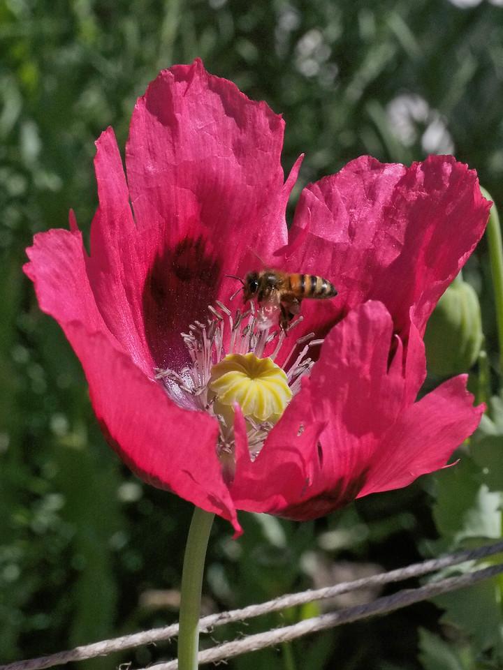 20131230_0936_1349 poppy and bee (Sovereign Hill, Ballarat)