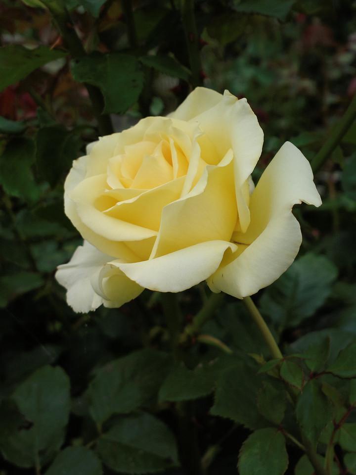 20131226_0933_0330 rose