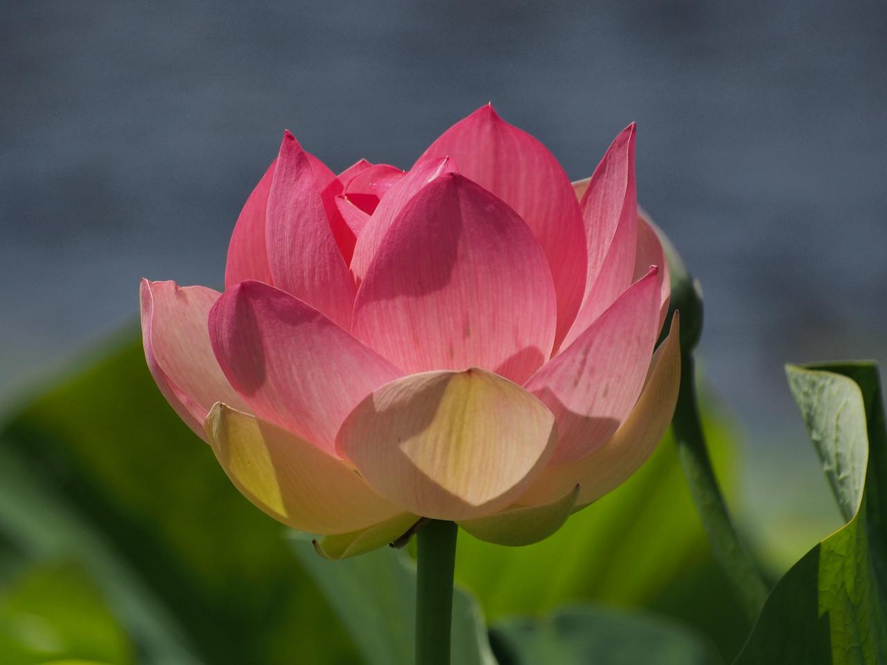 20131228_1346_0118 lotus