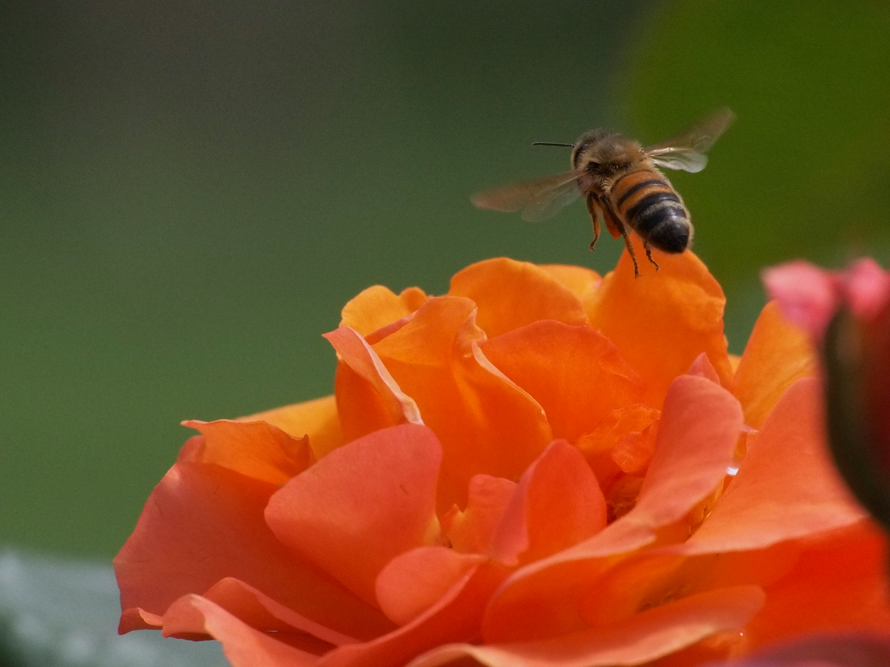 20131227_1030_1058 rose and bee (State Rose Garden, Werribee)