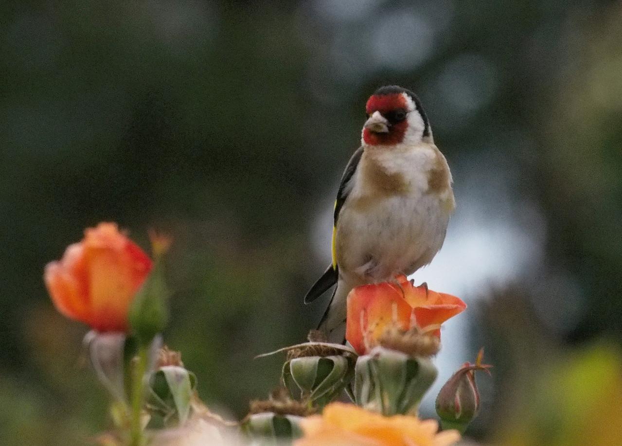 20131227_1015_1045 bird and roses (State Rose Garden, Werribee)