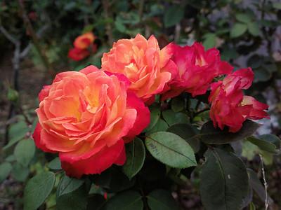 20140226_1251_0372 roses