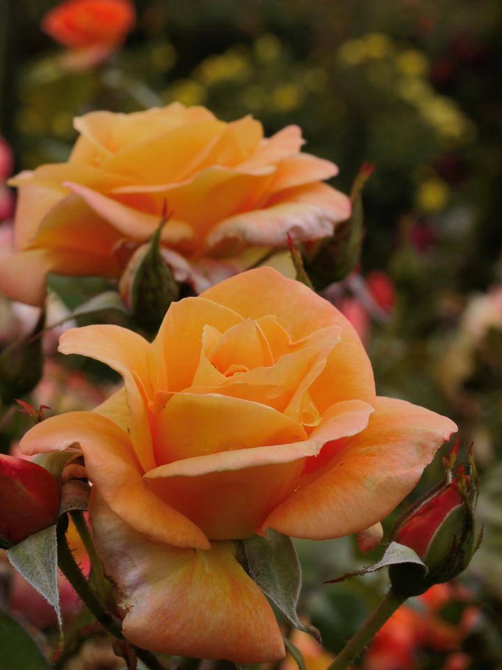 20131227_1022_1204 rose (State Rose Garden, Werribee)