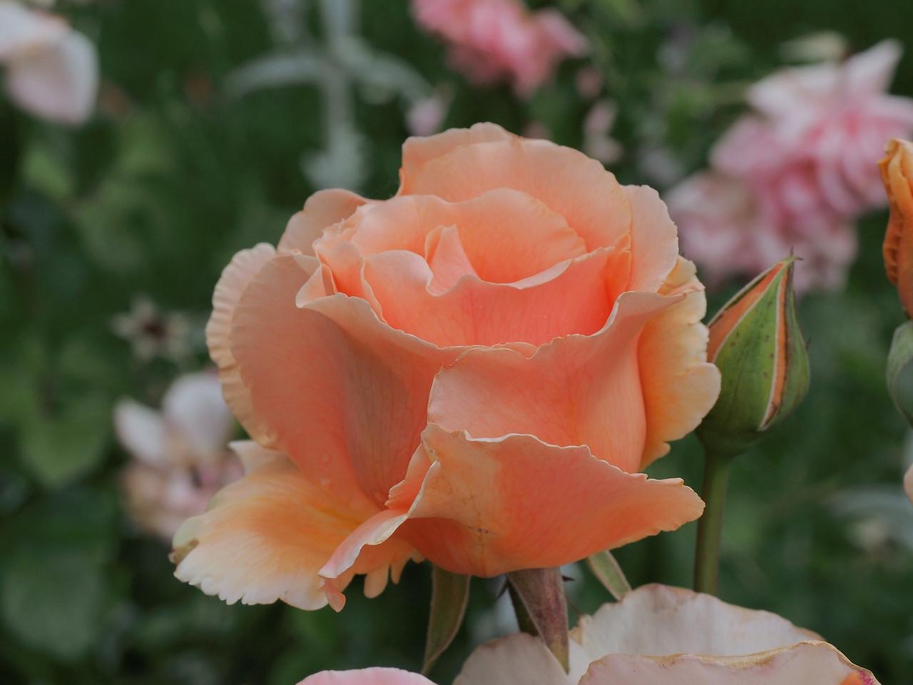 20131205_1012_0600 rose (Della Torre Crescent, Ivanhoe)