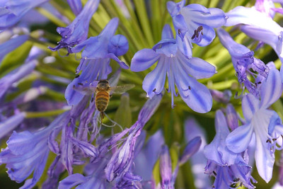 20140108_1057_5766 bee and agapanthus