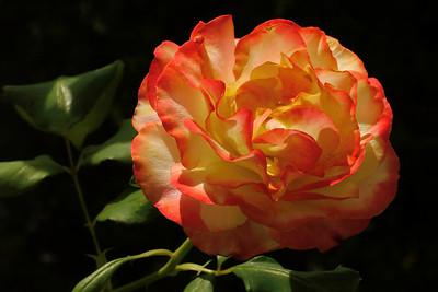 20140107_1410_5744 rose