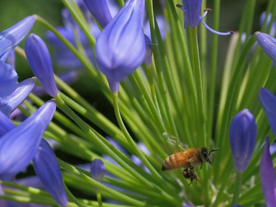 20131219_0930_0838 bee and agapanthus