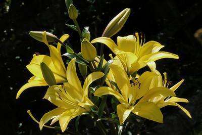 20131214_1012_5092 lily (Alandale Road, Eaglemont)