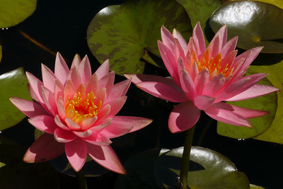 20131228_1120_5394 water lilies