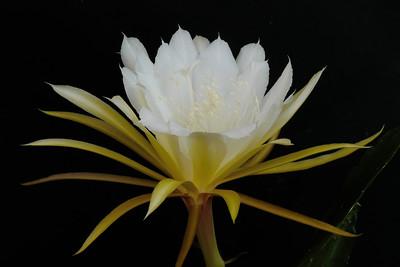 20131210_1817_5077 epiphyllum