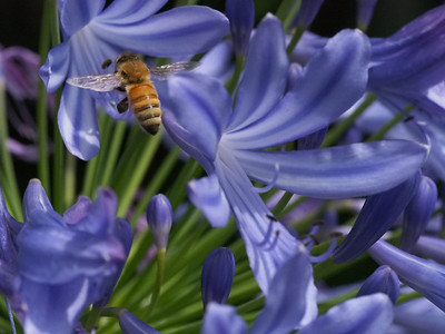 20131219_0932_0884 bee and agapanthus