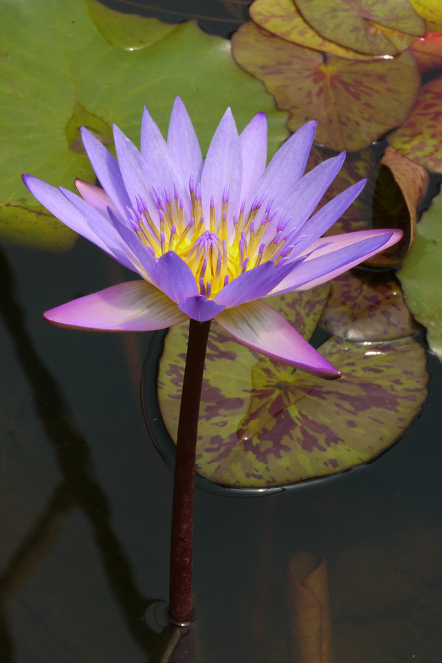 20131228_1224_5436 water lily