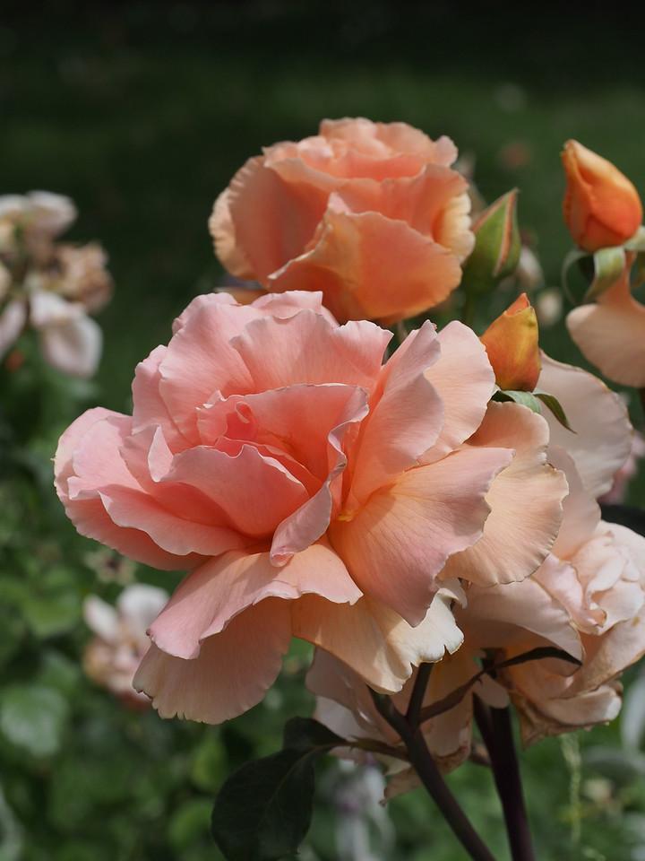 20131205_1010_0595 roses (Della Torre Crescent, Ivanhoe)