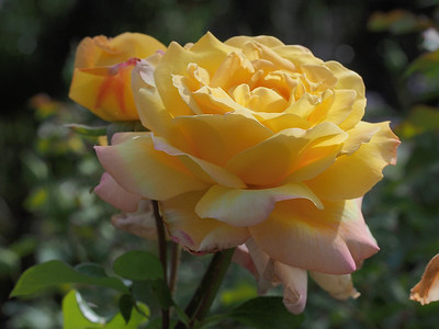 20140109_0911_2042 rose (Kenilworth Parade, Ivanhoe)