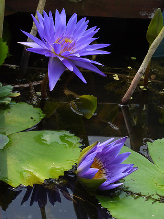 20131228_1125_1301 water lilies (Blue Lotus Water Garden)