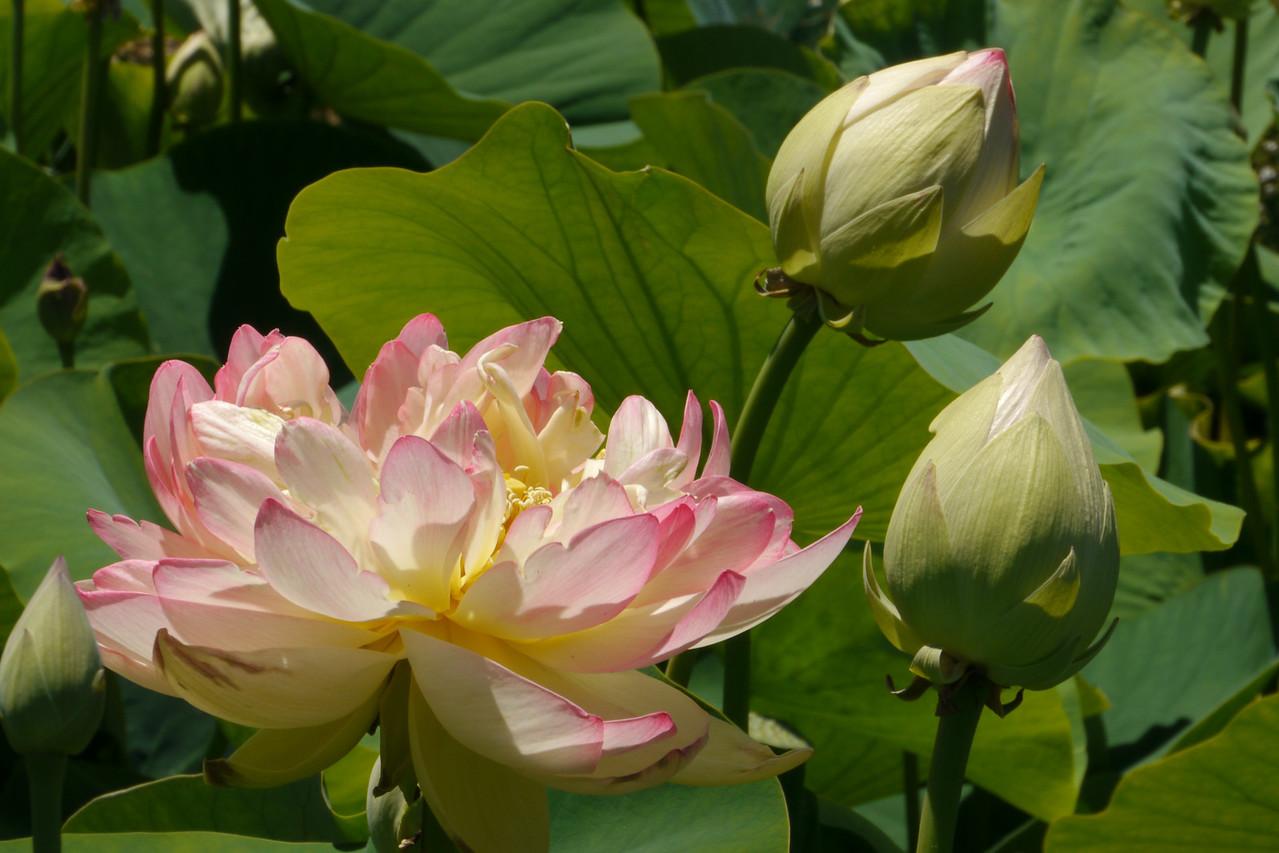 20131228_1259_5467 lotus